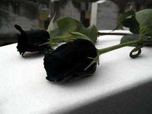 20150105203938-rosa-negra-longina.jpg