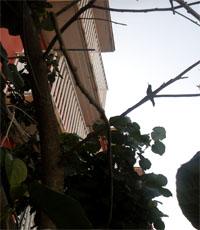 Zun.zun, colibrí, pajarito del monte… (foto: Odalis López)