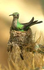 Con las alas tendidas, el colibrí cubano (foto: CubaDebate)